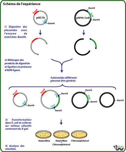 dans - Coloration De Gram Protocole